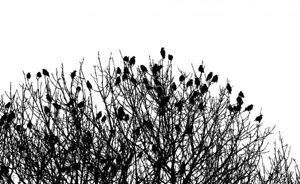 Emily Garnham Wright Ash Trees and Starlings